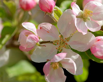 Photograph - Apple Blossom 2 by Scott Gould