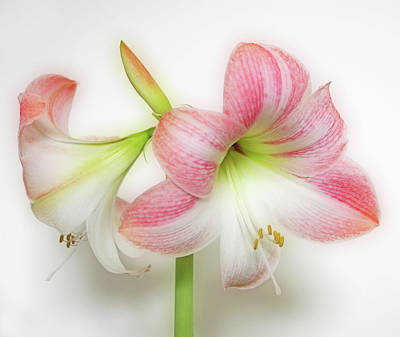 Photograph - Apple Blossom Amaryllis by Sandy Keeton