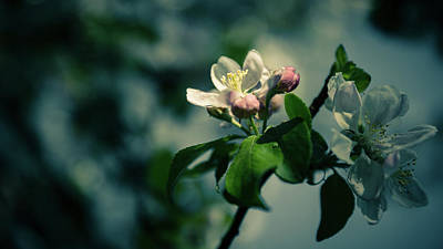 Photograph - Apple Blossom by Andreas Levi