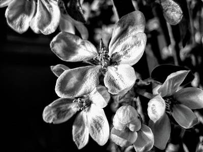 Photograph - Apple Blossom - Black And White by Kathy Bassett