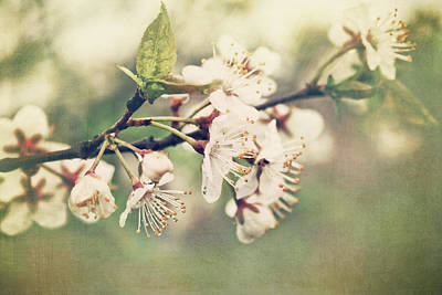 Apple Photograph - Apple Blossom Branch In Early Spring by Sandra Cunningham