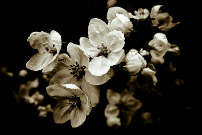Photograph - Apple Blossom by Frank Tschakert