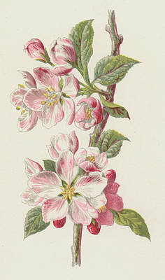 Botanical Drawing - Apple Blossom by Frederick Edward Hulme