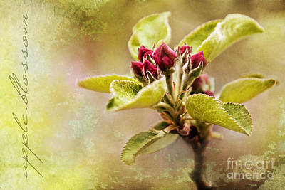 Photograph - Apple Blossom by Christina VanGinkel