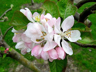Apple Blossom Art Print by Joyce Woodhouse