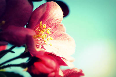 Apple Blossom Print by Lisa Knechtel