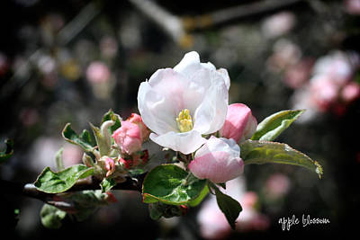 Photograph - Apple Blossom by Nancy Ingersoll