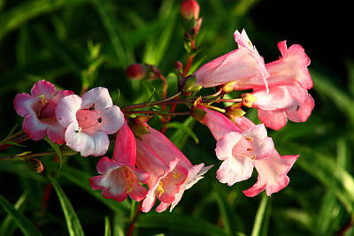 Apple Blossom Penstemon Art Print