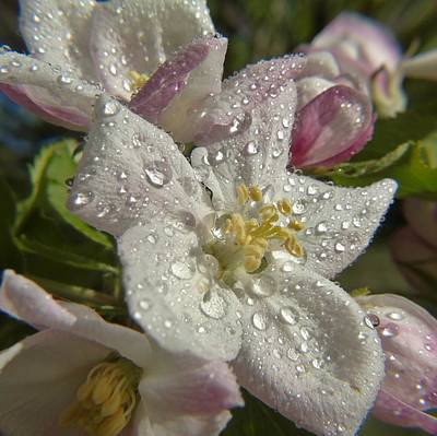 Photograph - Apple Blossom Rain by Barbara St Jean