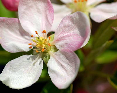 Photograph - Apple Blossom by Scott Gould