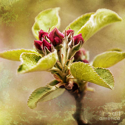 Photograph - Apple Blossom Square by Christina VanGinkel