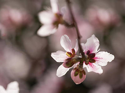 Photograph - Apple Blossom by Sue Cullumber