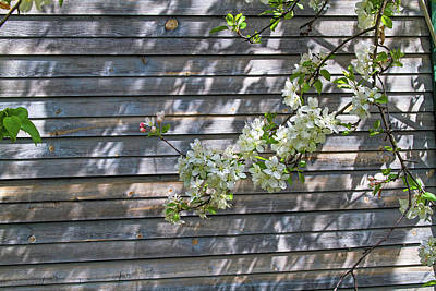 Photograph - Apple Blossom Time by Alana Thrower
