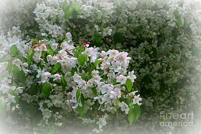 Photograph - Apple Blossom Time by Barbara S Nickerson