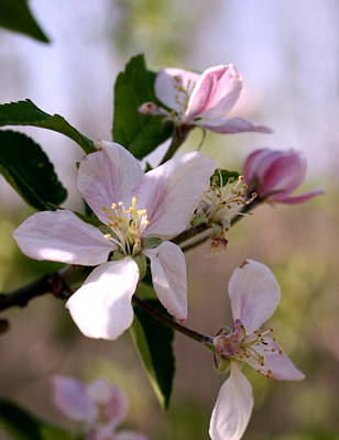 Art Print featuring the photograph Apple Blossom Time by Diane Merkle