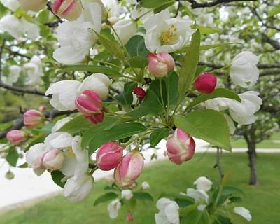 Photograph - Apple Blossom Time by Patricia E Sundik