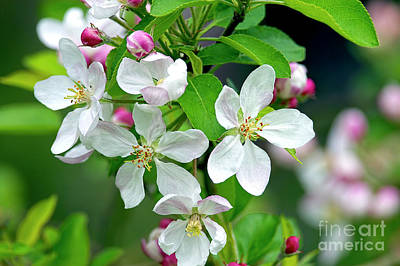 Photograph - Apple Blossom Time by Sharon Talson