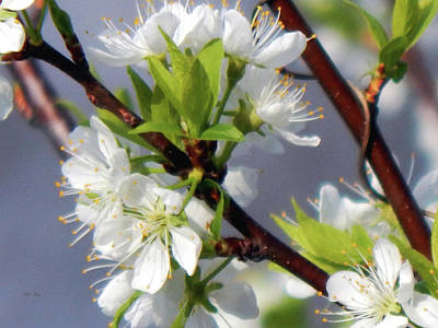 Photograph - Apple Blossom Time by Wild Thing
