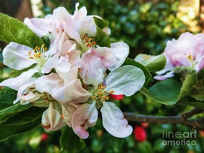 Photograph - Apple Blossom by Isabella Shores