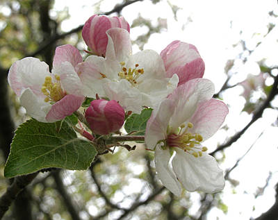 Art Print featuring the photograph Apple Blossoms - Wild Apple by Angie Rea