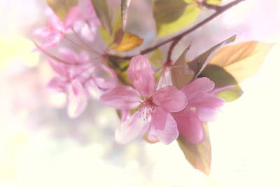 Photograph - Apple Blossoms 1 by Tara Shalton
