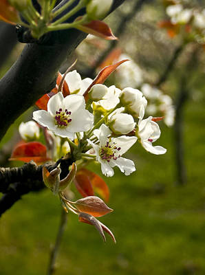 Photograph - Apple Blossoms by Albert Seger