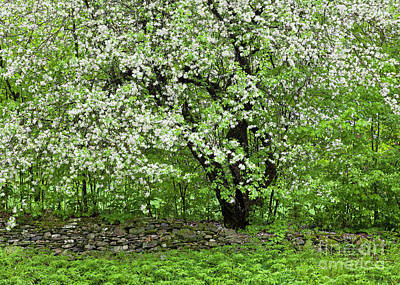 Photograph - Apple Blossoms And Stone Wall by Alan L Graham