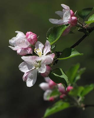 Photograph - Apple Blossoms by Ann Bridges