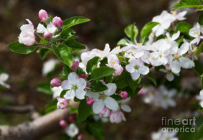 Photograph - Apple Blossoms by Ann Jacobson