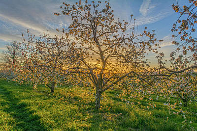 Apple Blossoms At Sunrise 2 Art Print