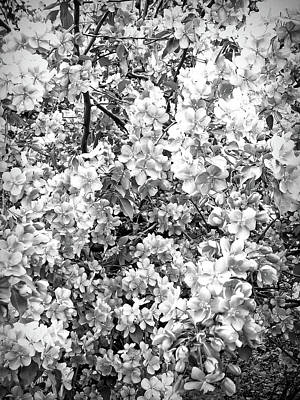 White Flowers Photograph - Apple Blossoms Black And White  by Aimee L Maher Photography and Art Visit ALMGallerydotcom