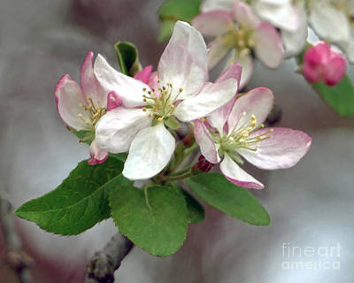 Photograph - Apple Blossoms by Catherine Sherman