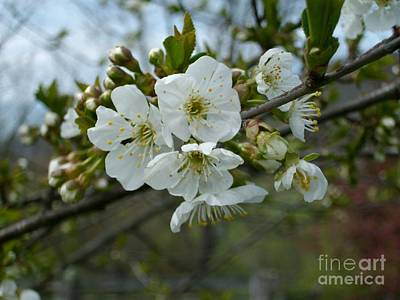 Photograph - Apple Blossoms by Ej Catoe