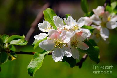 Photograph - Apple Blossoms by Elaine Manley