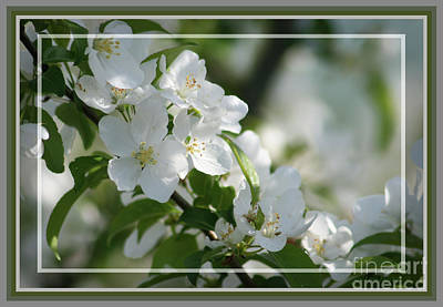 Photograph - Apple Blossoms, Framed by Sandra Huston