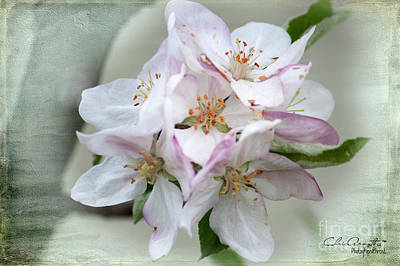 Photograph - Apple Blossoms From My Hepburn Garden by Chris Armytage