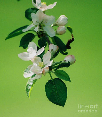 Photograph - Apple Blossoms In Bloom by Linda Drown