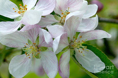 Apple Blossoms Art Print by Inga Spence
