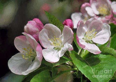 Photograph - Apple Blossoms  by Janice Drew