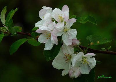 Photograph - Apple Blossoms by John Selmer Sr