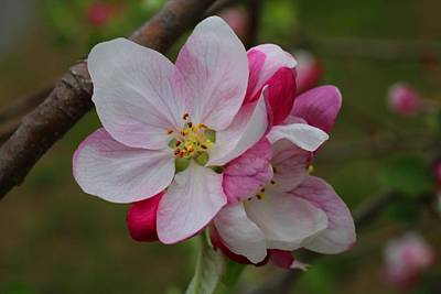 Photograph - Apple Blossoms by Kathryn Meyer