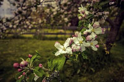 Studio Grafika Patterns - Apple Blossoms by Marci Potts