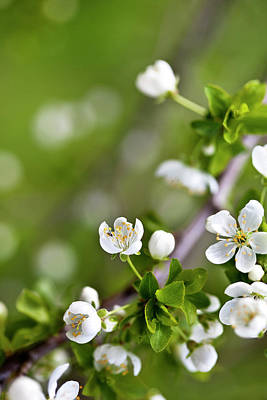 Delicate Photograph - Apple Blossoms by Nailia Schwarz