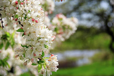 Photograph - Apple Blossoms Near Meadow Lake by Joni Eskridge