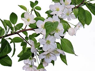 Photograph - Apple Blossoms by Nina Bradica