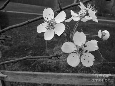 Photograph - Apple Blossoms Over Fence by Ej Catoe