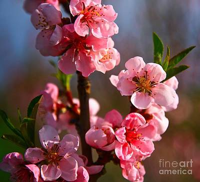 Apple Blossoms Art Print by Robert Pearson