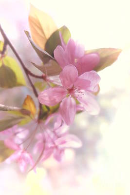 Photograph - Apple Blossoms by Tara Shalton