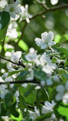 Photograph - Apple Flowers 1 by Jouko Lehto