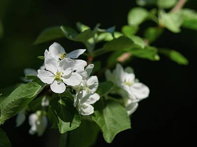 Photograph - Apple Flowers 19 by Jouko Lehto
